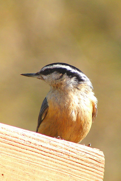 NUTHATCH , RED-BREASTED - Camden, NY area - May, 2006