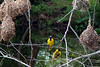 SPOTTED-BACKED OR VILLAGE WEAVER - Zambia