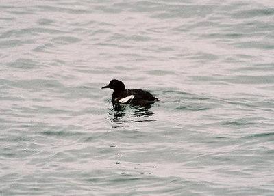 8/19/04 Pigeon Guillemot (Cepphus columba). Morro Bay, San Luis Obispo County, CA