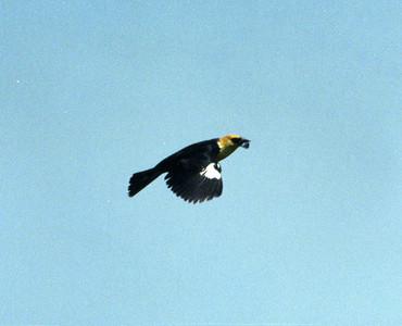 6/2/02 Yellow-headed Blackbird (Xanthocephalus xanthocephalus). San Jacinto Wildlife Area, Riverside County, CA