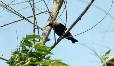5/26/02 Brown-headed Cowbird (Molothrus ater). Hidden Valley Wildlife Area, Norco, Riverside County, CA