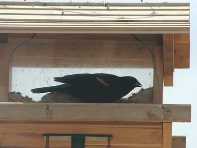 5/5/07 Tri-Colored Blackbird (Agelaius tricolor), Kyle Court Property, La Cresta, Murrieta, SW Riverside County, CA