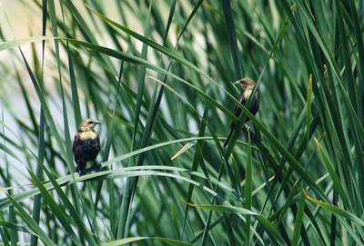 6/2/02 Yellow-headed Blackbird (females) (Xanthocephalus xanthocephalus). San Jacinto Wildlife Area, Riverside County, CA