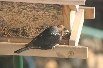 5/2/07 Brown-headed Cowbird (Molothrus ater). Kyle Court Property, La Cresta, Murrieta, SW Riverside County, CA