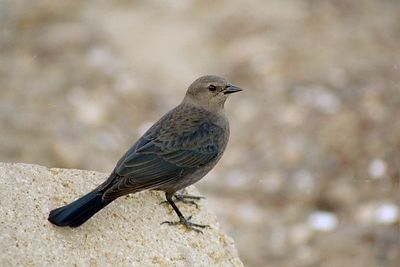 1/17/05 Brewer's Blackbird (female) (Euphagus cyanocephalus). Morro Strand State Beach, San Luis Obispo County, CA