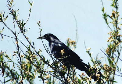 4/19/03 Great-tailed Grackle (Quiscalus mexicanus). San Jacinto Wildlife Area, Riverside County, CA