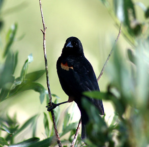 7/11/07 Red-winged Blackbird (Agelaius phoeniceus). Meadow before South Lake, Inyo National Forest, Inyo County, Eastern Sierras, CA