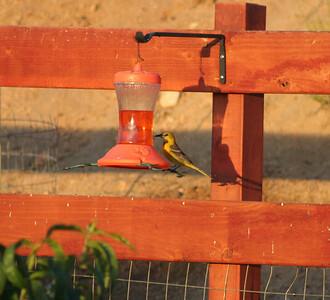 6/4/07 Female Hooded Oriole (Icterus cucullatus). Kyle Court, La Cresta, Murrieta. SW Riverside County, CA