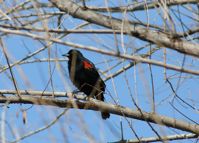 2/25/07 Red-winged Blackbird (Agelaius phoeniceus. San Jacinto Wildlife Area, Riverside County, CA