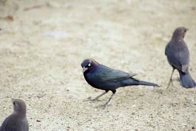 1/17/05 Brewer's Blackbird (male) (Euphagus cyanocephalus). Morro Strand State Beach, San Luis Obispo County, CA