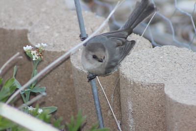 12/11/11 Male Bushtit (Psaltriparus minimus). Kyle Court, La Cresta, Murrieta, SW Riverside County, CA
