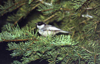 8/17/03 Mountain Chickadee (Poecile gambeli). Manzanita Lake Campground, Lassen Volcanic National Park, Shasta County, CA