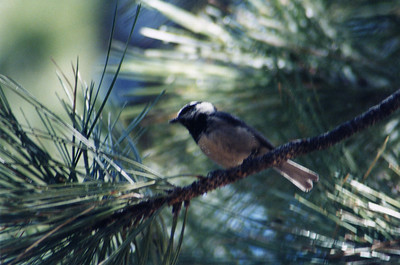 6/15/02 Mountain Chickadee (Poecile gambeli). Grassy Hollow (Wrightwood), San Gabriel Mountains, Los Angeles County, CA