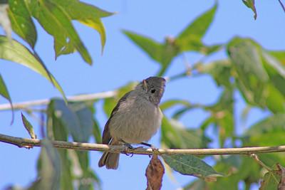 6/17/11 Oak Titmouse (Baeolophus inornatus). Kyle Court, La Cresta, Murrieta. SW Riverside County, CA