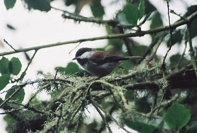 8/18/04 Chestnut-Backed Chickadee (Poecile rufescens). Riparian area, Elkhorn Slough National Estuarine Research Reserve, Monterey County, CA