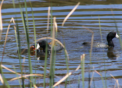5/6/07 American Coot (Fulica americana). Doane Pond, Palomar Mountain State Park, N. San Diego County, CA