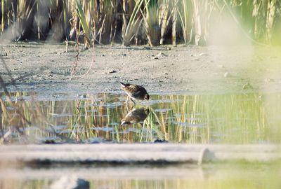 11/6/04 Sora (Porzana carolina). LA Audubon field trip with Dan Cooper. Ballona Wetlands, Playa Del Rey, Los Angeles County, CA