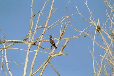"1/14/05 Double-Crested Cormorant (Phalacrocorax auritus). ""Bay Birding Cruise"", 2005 Morro Bay Winter Bird Festival, San Luis Obispo County, CA"