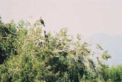 10/23/04 Double-Crested Cormorants (Phalacrocorax auritus). Rookery on island @Santa Fe Dam Recreation Area, Los Angeles County, CA