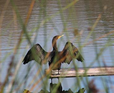 1/14/06 Double Crested Cormorant (Phalacrocorax auritus). Morro Bay Winter Bird Festival Event #35. Pismo State Beach Campground, San Luis Obispo County, CA