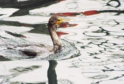 8/19/04 Double-Crested Cormorant (Phalacrocorax auritus). Morro Bay, San Luis Obispo County, CA