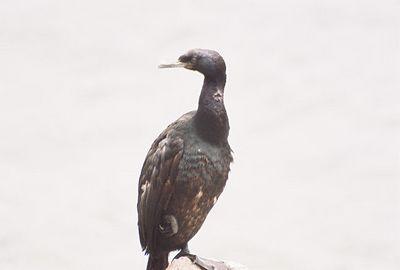 8/19/04 Brandt's Cormorant? (Phalacrocorax penicillatus). Morro Rock, Morro Bay, San Luis Obispo County, CA