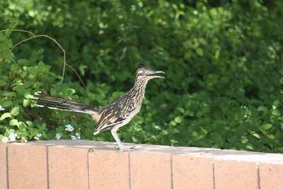9/4/08  Greater Roadrunner (Geococcyx californianus, Living Desert Zoo & Gardens, Palm Desert, Riverside County, CA.