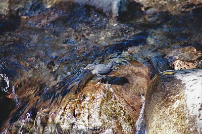 5/6/01 American Dipper (Cinclus mexicanus). Gabrielino Trail to Sturtevant Falls. Big Santa Anita Canyon, San Gabriel Mountains, Angeles National Forest, Los Angeles County, CA.