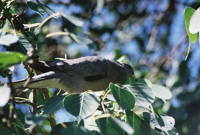 8/2/03 Band-Tailed Pigeon (Columba fasciata). Los Angeles County Arboretum, Arcadia, CA