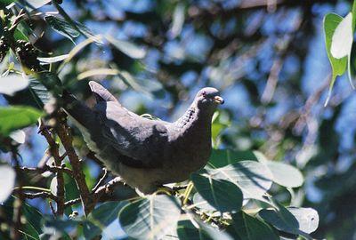 BIRDS: Doves & Pigeons (Columbidae)