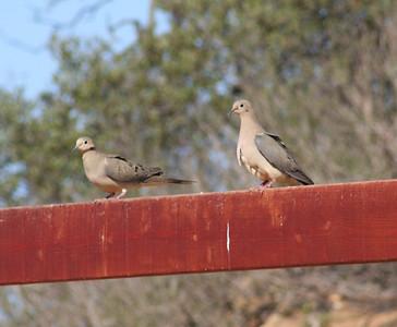 5/5/07 Mourning Dove (Zenaida macroura). Kyle Court, La Cresta, Murrieta, SW Riverside County, CA