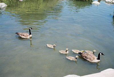 May 2004 Canada Geese (Branta canadensis) Los Angeles County Arboretum, Arcadia, CA