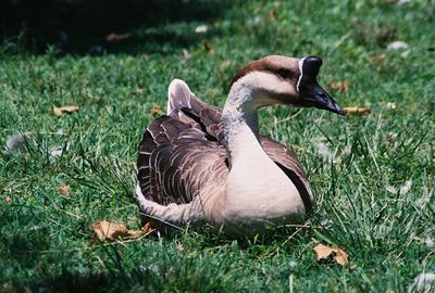 August 2004. Chinese Goose (domesticated goose descended from Swan Goose - Anser cygnoides). Legg Lake @Whittier Narrows Recreation Area, Los Angeles County, CA