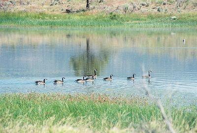 7/4/05 Canada Geese (Branta canadensis). Dorris Reservoir, Modoc National Wildlife Refuge, Modoc County, CA