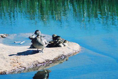 8/17/04 Mallard Duck (Anas platyrhynchos). Tuolumne River, Tuolumne Meadow, Yosemite National Park, CA