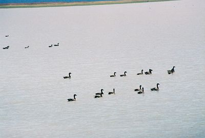 7/3/05 Canada Geese (Branta canadensis). View from causeway over Goose Lake, heading north from Davis Creek on County Rd. 48, Modoc County, CA