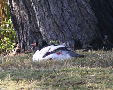1/14/06 Common Merganser (Mergus merganser). Morro Bay Winter Bird Festival Event #35, Oceano Lagoon, San Luis Obispo County, CA