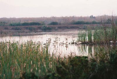 2/19/05 Snow Geese (Chen caerulescens). Ag fields, ponds off Garst Road (from Sinclair Rd). Salton Sea Tour, Salton Sea International Bird Festival, Imperial County, CA