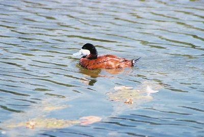 August 2004. Ruddy Duck (Oxyura jamaicensis). Legg Lake @Whittier Narrows Recreation Area, Los Angeles County, CA
