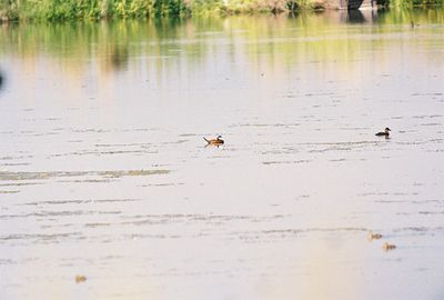 7/3/05 Ruddy Ducks (Oxyura jamaicensis). Auto tour, Modoc National Wildlife Refuge, Modoc County, CA