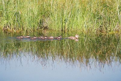 7/3/05 Mallard Ducks (Anas platyrhynchos)? Auto tour, Modoc National Wildlife Refuge, Modoc County, CA