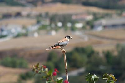 9/1/08 American Kestrel (Falvo sparverius). Kyle Court, La Cresta, Murrieta, Riverside County, CA