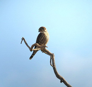 11/10/08 Merlin (female)? (Falco columbarius). Kyle Court Property, La Cresta, Murrieta, SW Riverside County, CA
