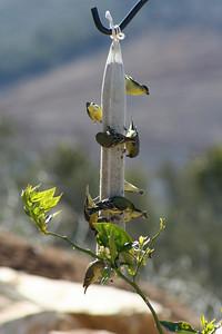 3/24/07 Lesser Goldfinch (Carduelis psaltria). Kyle Court, La Cresta, Murrieta, Riverside County, CA
