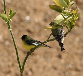 4/16/07 Lesser Goldfinch (Carduelis psaltria). Kyle Court Property, La Cresta, Murrieta, SW Riverside County, CA