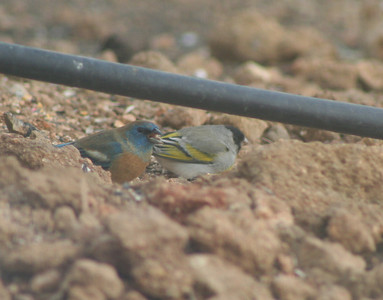 4/14/07 Lawrence's Goldfinch (Carduelis lawrencei) with Lazuli Bunting (Passerina amoena) on the left. Kyle Court property, La Cresta, Murrieta, SW Riverside County,