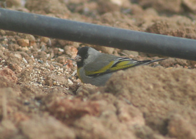4/14/07 Lawrence's Goldfinch (Carduelis lawrencei). Kyle Court property, La Cresta, Murrieta, SW Riverside County,