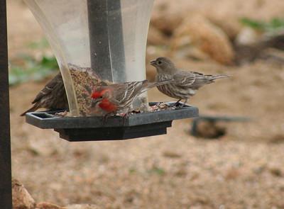 8/18/07 House Finch (Carpodacus mexicanus). Kyle Court property, La Cresta, Murrieta, SW Riverside County, CA