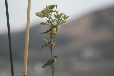 4/14/07 Lesser Goldfinch (Carduelis psaltria). Kyle Court Property, La Cresta, Murrieta, SW Riverside County, CA