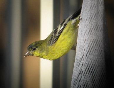 10/20/06 Lesser Goldfinch (Carduelis psaltria). Kyle Court, La Cresta, Murrieta, Riverside County, CA